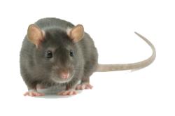 Rodent Control Orlando