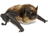 Bat Removal In Gainesville Florida