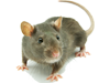 Rodents Control In Gainesville Florida